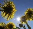 Dutch biologist Ingrid van der Meer often meets with disbelief when she talks about her work on dandelions and how it could secure the future of road transport.